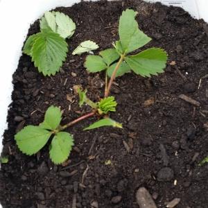 Shredded strawberry plant