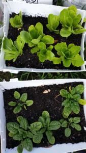 LettuceSpinachWeek7