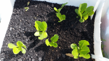 Lettuceweek6