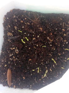 Marigold sprouts in winter sowing container