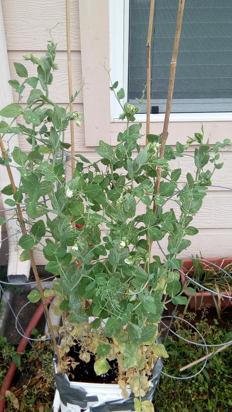 grown peas